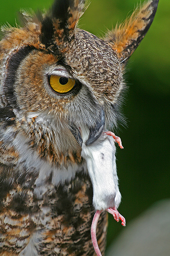 of the Great Horned Ow...